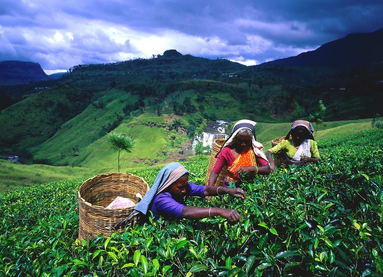 tea plantation sector in sri lanka economics essay There are certain people coming to sri lanka only to enjoy tea and to an economic slump pre-tea the tea industry by beginning a tea plantation.