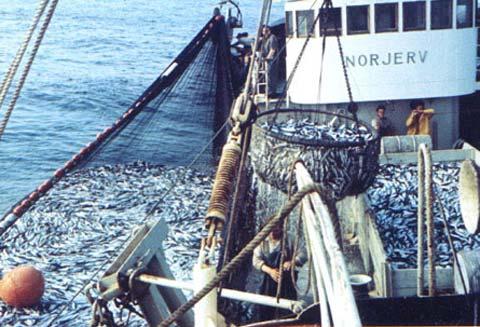 ловля сельди в норвегии